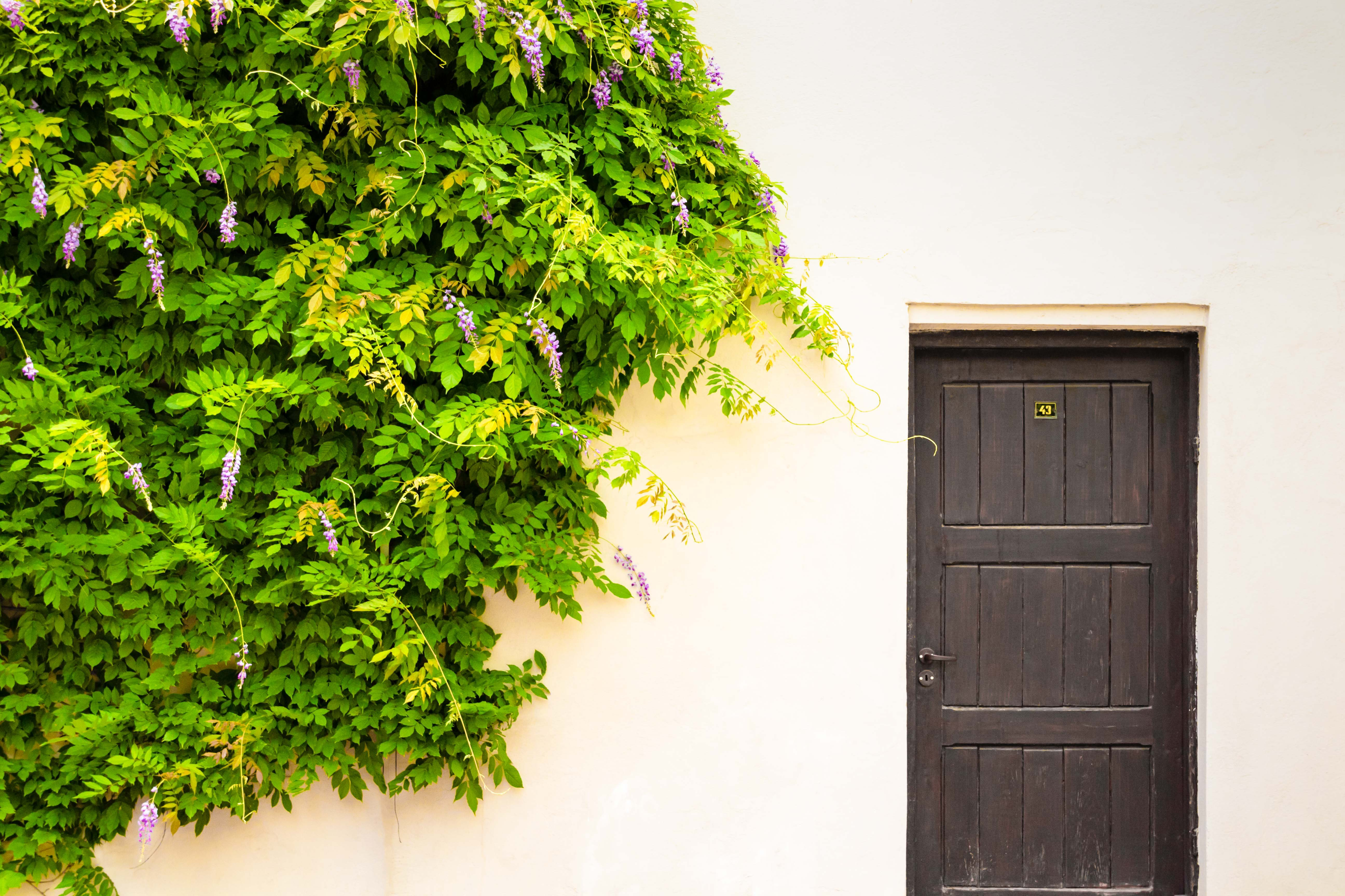 Wisteria growing along a wall next to a door